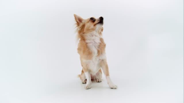 Chihuahua White Background – Video