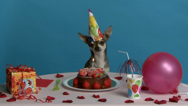 Chihuahua's birthday a Chihuahua sitting at his birthday table happy birthday stock videos & royalty-free footage