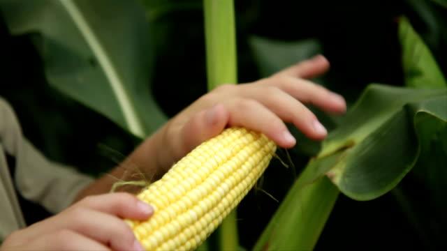 child holding corn cob in corn field - skalhylsa bildbanksvideor och videomaterial från bakom kulisserna