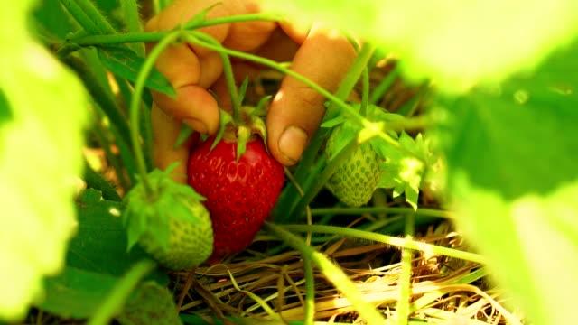 Child is picking strawberries video