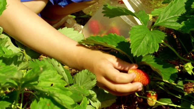 Child is picking strawberries video