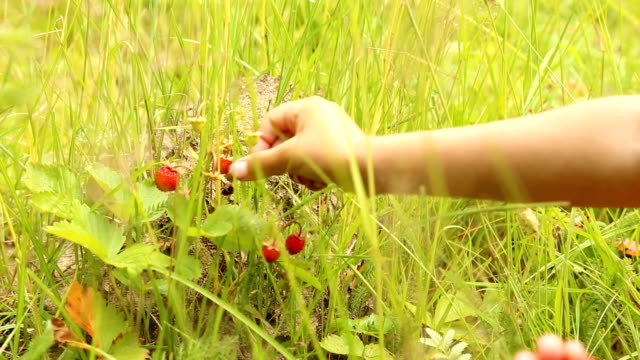 vídeos de stock e filmes b-roll de child picking wild strawberries in the forest - baga