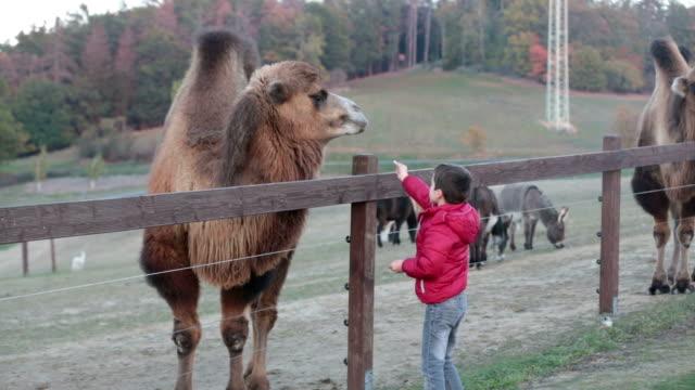子供たちは、ファーム、子供と動物の相互作用および週末の活動にラクダを給餌 - 異国情緒点の映像素材/bロール