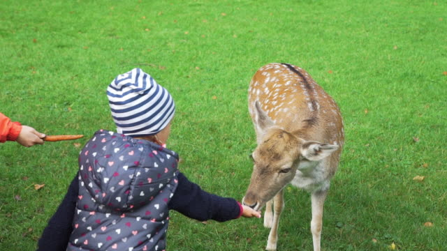 Children Feeding Roe Deer in a Park Children Feeding Roe Deer in an Autumn Park. Harmony with Nature, Ecology and Wildlife Concept beauty in nature stock videos & royalty-free footage