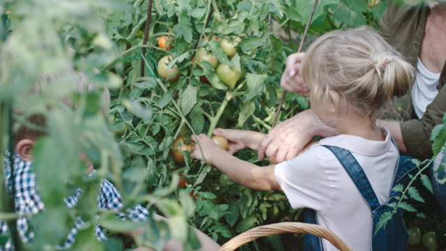 Children Picking Ripe Tomatoes with Grandmother video