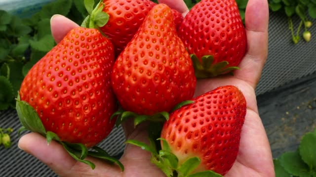 Childs hand holding handful of strawberries Childs hand holding handful of strawberries handful stock videos & royalty-free footage