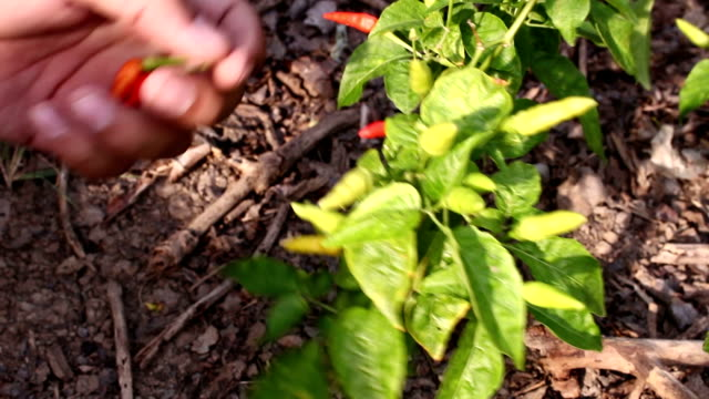 Chili peppers Being Harvested video