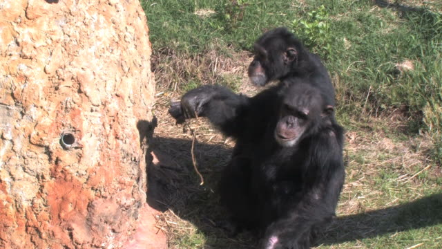 Chimp Feast