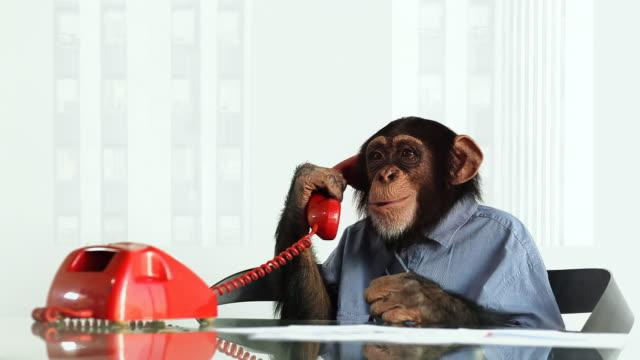 vídeos de stock, filmes e b-roll de chimpanzé telefone entediado - macaco