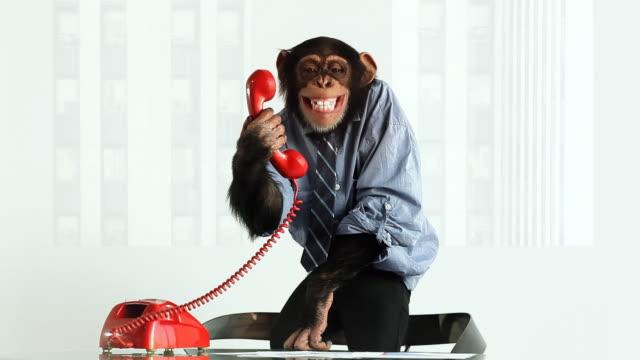 Chimp Phone Laughing