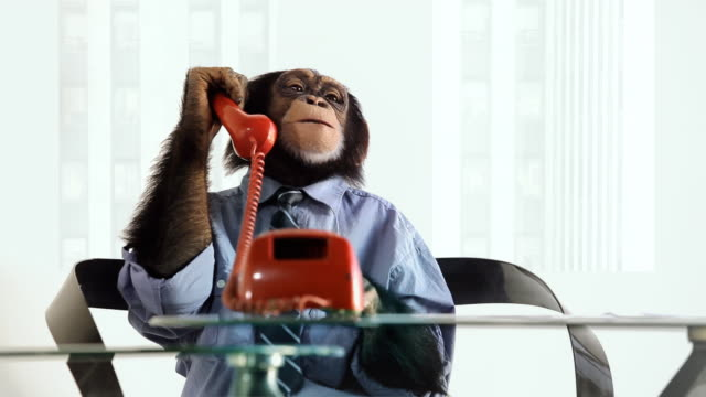 chimp telefono parlando - primate video stock e b–roll