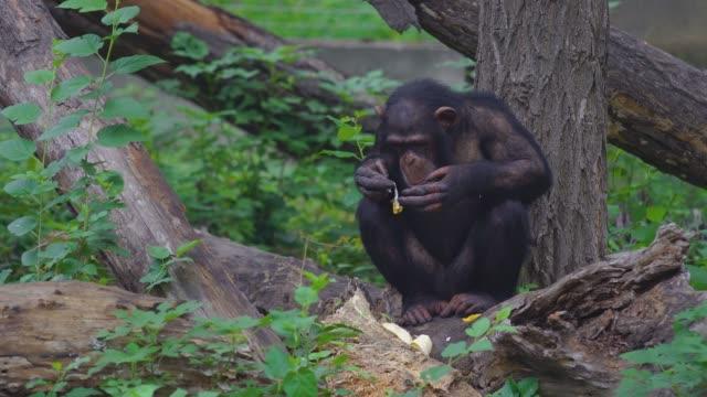 Chimpanzee eating banana in the wild