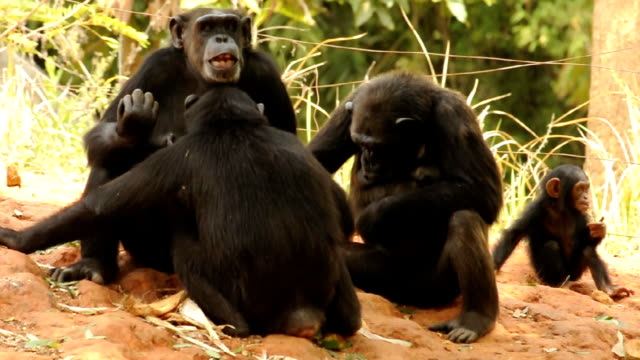 chimpanzees human and family ties The new study found that 994 percent of the most critical dna sites are identical in the corresponding human and chimp genes separated from the human family.