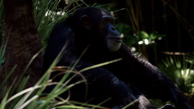 Chimpanzee gets up and walks with others video