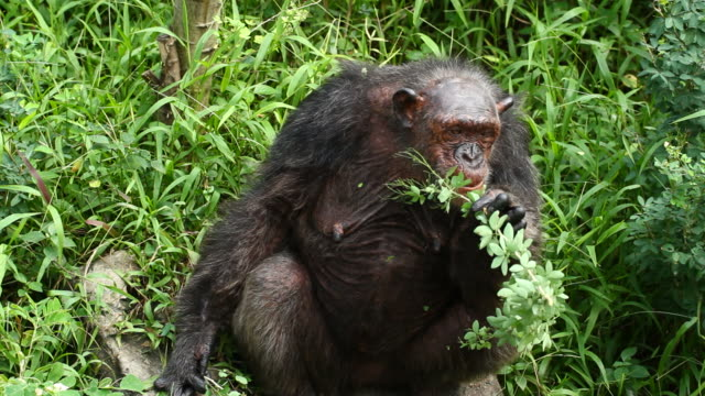 Chimpanzee sitting eating leaves.