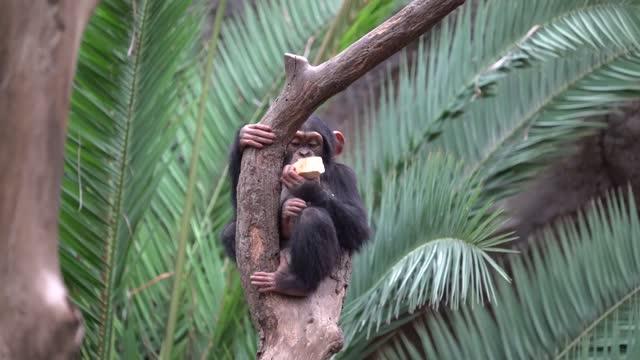 Chimpanzee sitting on a tree