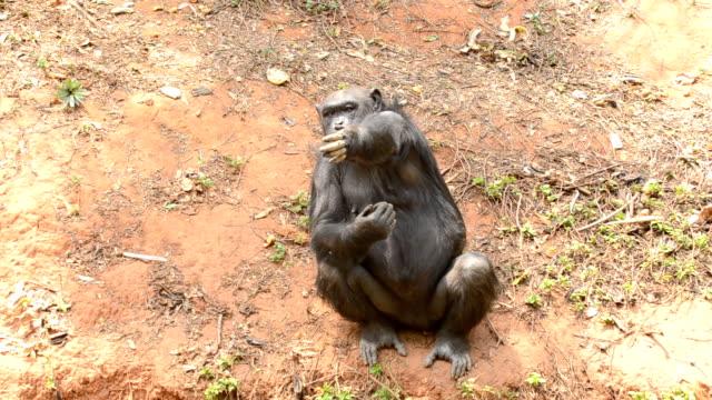 vídeos y material grabado en eventos de stock de chimpancé - árboles genealógicos