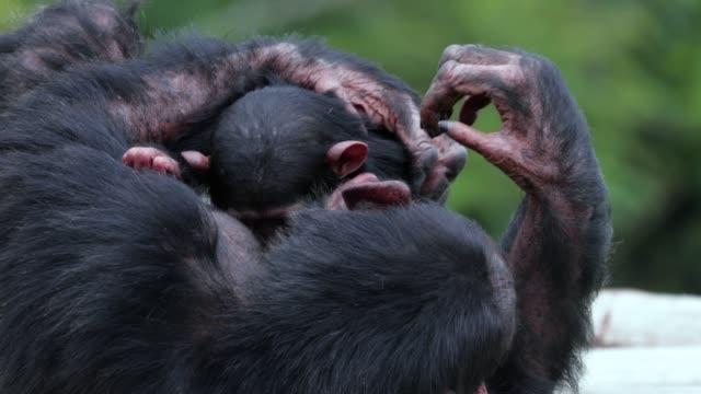 scimpanzé con il suo bambino nella savana. bel momento in natura - concetto animale in natura - vista ravvicinata - scimmia video stock e b–roll