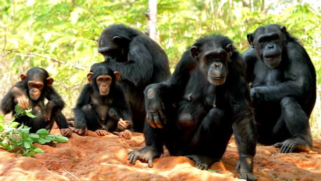 Chimpanzees.