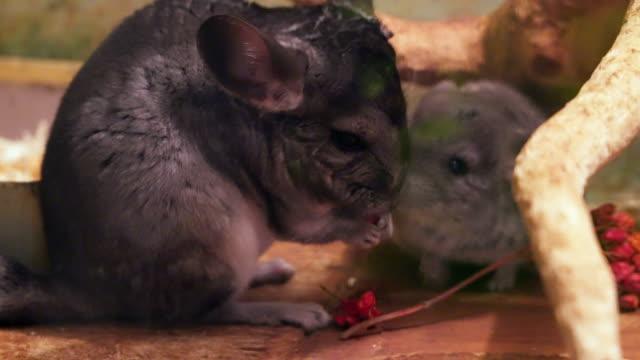 chinchilla kırmızı meyve yer - kemirgen stok videoları ve detay görüntü çekimi