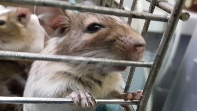 Chinchilla in a cage. Chinchillas in a cage close-up. Cute chinchilla in a cage