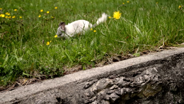 Chinchilla running in the meadow Chinchillas running in the lawn in alta badia jerky stock videos & royalty-free footage