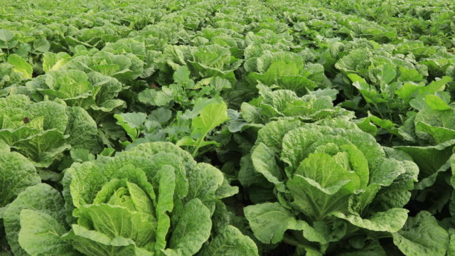 Chinese cabbage crops growing at field Chinese cabbage crops growing at field cabbage stock videos & royalty-free footage