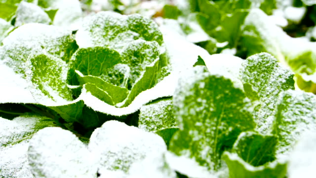 Chinese cabbage field with snow Chinese cabbage field with snow vegetable garden stock videos & royalty-free footage