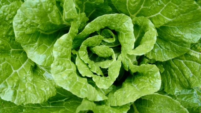 Chinese cabbage in fields Chinese cabbage in fields cabbage stock videos & royalty-free footage