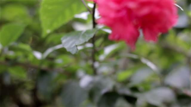 cinese (ibisco rosa ibisco-sinensis): dolly shot - cespuglio tropicale video stock e b–roll
