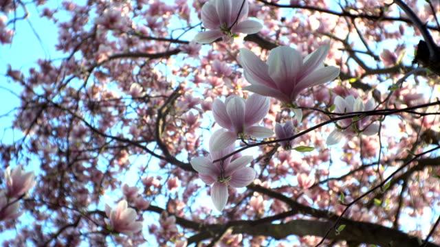 Chinese magnolia blossom close
