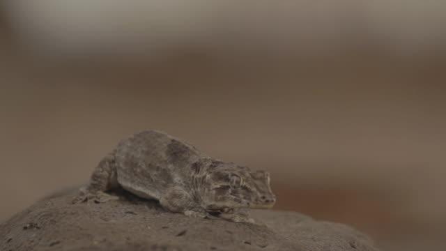 chioninia spinalis im grünen umhang (ilhéu raso) - afrikanische steppe dürre stock-videos und b-roll-filmmaterial