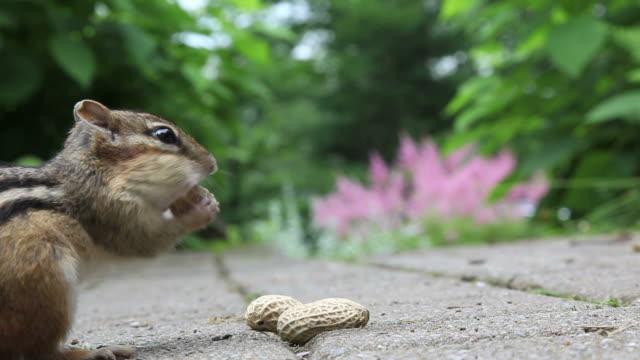Chipmunk eating peanuts video