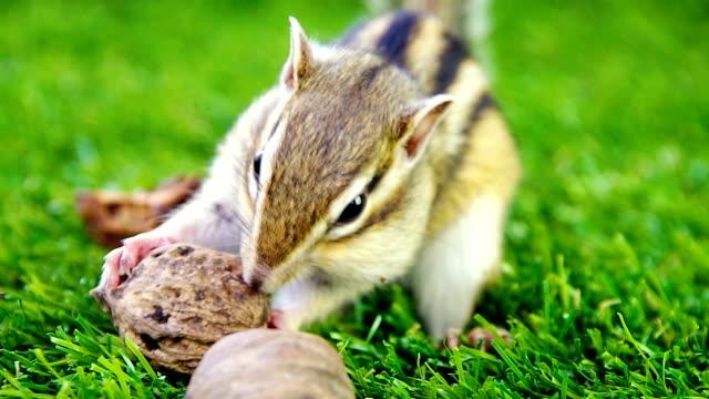 chipmunk eating walnut - kemirgen stok videoları ve detay görüntü çekimi
