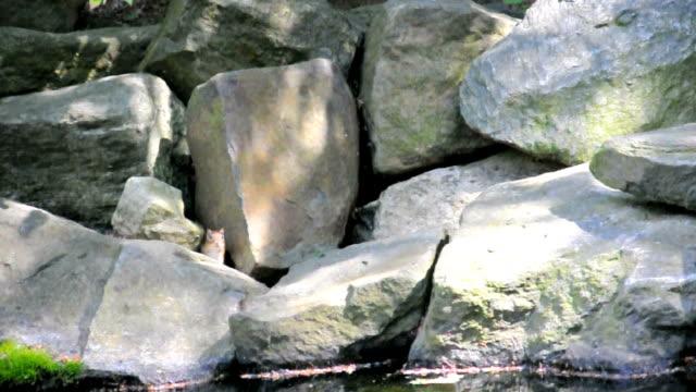 Chipmunk  hiding among Rocks video