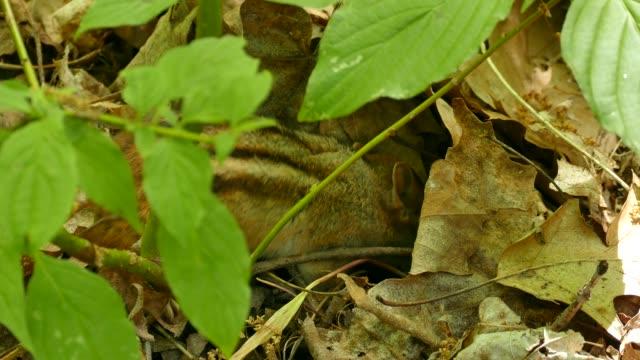 Chipmunk in woodland