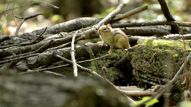 Chipmunk sits on mossy log video