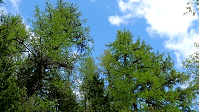 fågelkvitter i de gröna höga träd - fur bildbanksvideor och videomaterial från bakom kulisserna