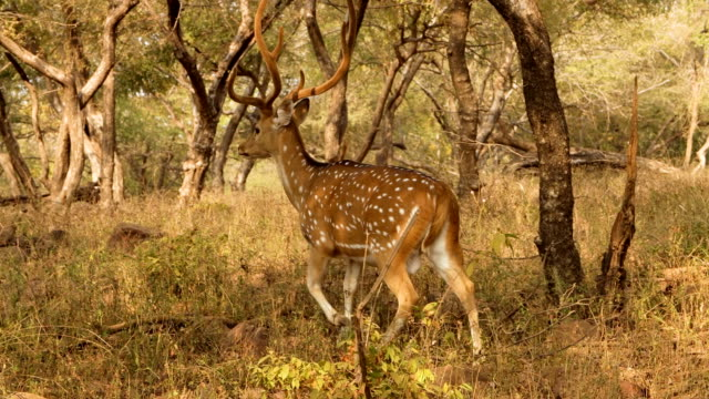 chital or cheetal, also known as spotted deer, chital deer, and axis deer, is a species of deer that is native in the indian subcontinent. ranthambore national park sawai madhopur rajasthan india - jeleń aksis filmów i materiałów b-roll