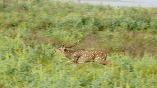 ms uzun otların, sri lanka geyik lekeli chital - benekli geyik stok videoları ve detay görüntü çekimi