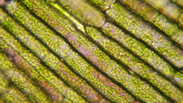 chloroplasts circulating micrograph Chloroplasts circulating in plant cells of anacharis, Egeria densa, due to cytoplasm streaming. Live specimen. Wet mount, 40X objective, transmitted brightfield illumination. high scale magnification stock videos & royalty-free footage