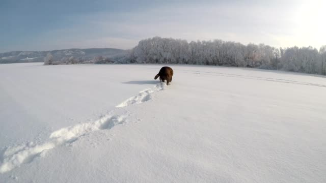 Chocolate brown Labrador walking in the snow in winter video
