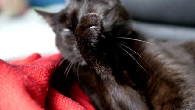 choklad katt slickar och rengör sig själv med slutna ögon - morrhår bildbanksvideor och videomaterial från bakom kulisserna