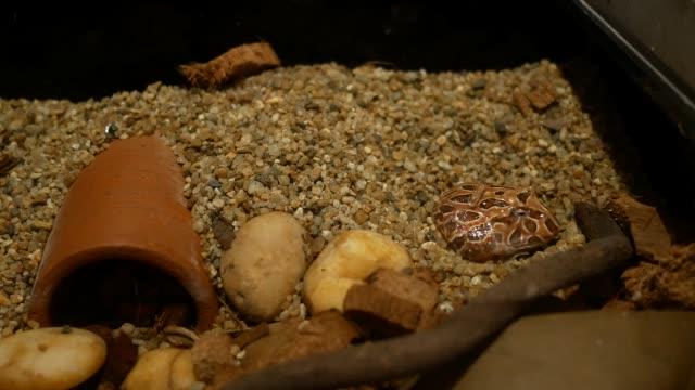 chocolate horned frog. video