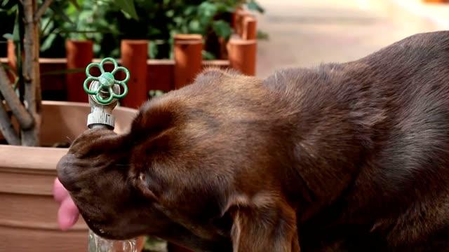 czekoladowy labrador wody pitnej - tap water filmów i materiałów b-roll