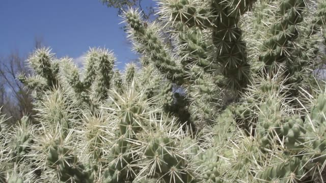 Cholla cactus video