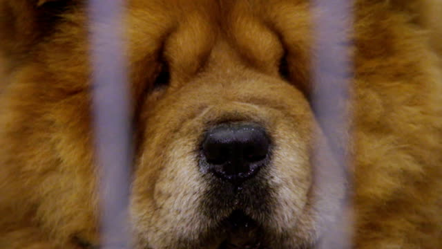 Chow Chow dog muzzle close-up, proud animal kept in captivity at pet shelter