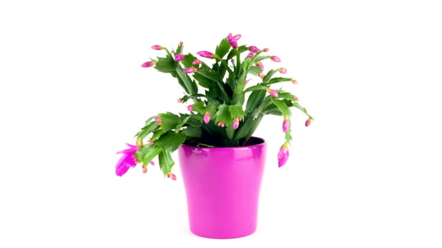Christmas Cactus; TIME LAPSE TIME LAPSE SHOT of a fast flowering Christmas cactus potted plant stock videos & royalty-free footage