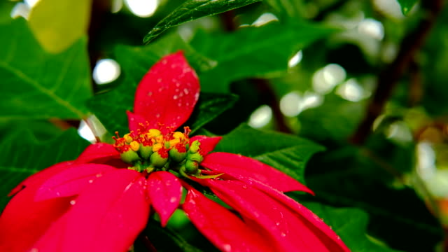 クリスマスの花。赤花ポインセチア。冬のシーズンのクリスマスの休日のシンボルです。ポインセチア - 十二月点の映像素材/bロール