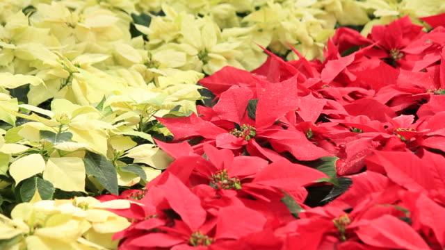 Christmas flower video